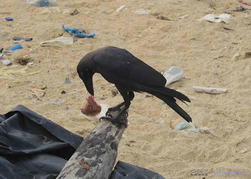 Raven Eating Fish