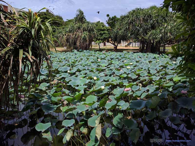 Lotus Pond by Negombo Beach