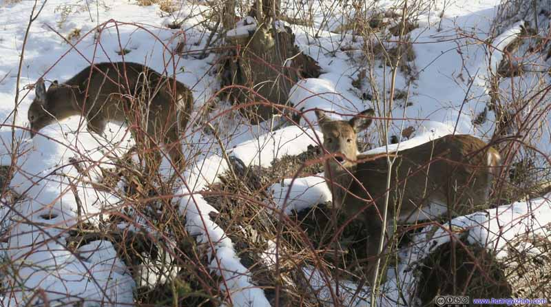Deer in Bushes