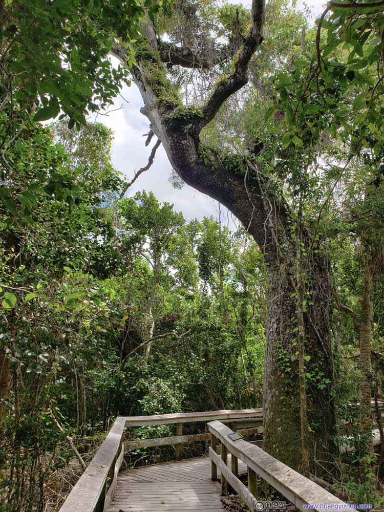 Mahogany Tree by Boardwalk