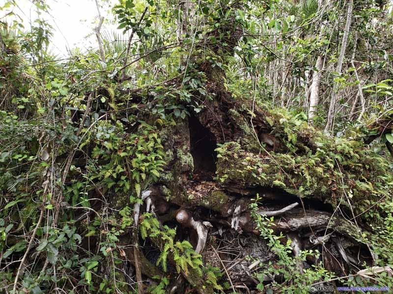 Moss and Fern Growing on Fallen Tree