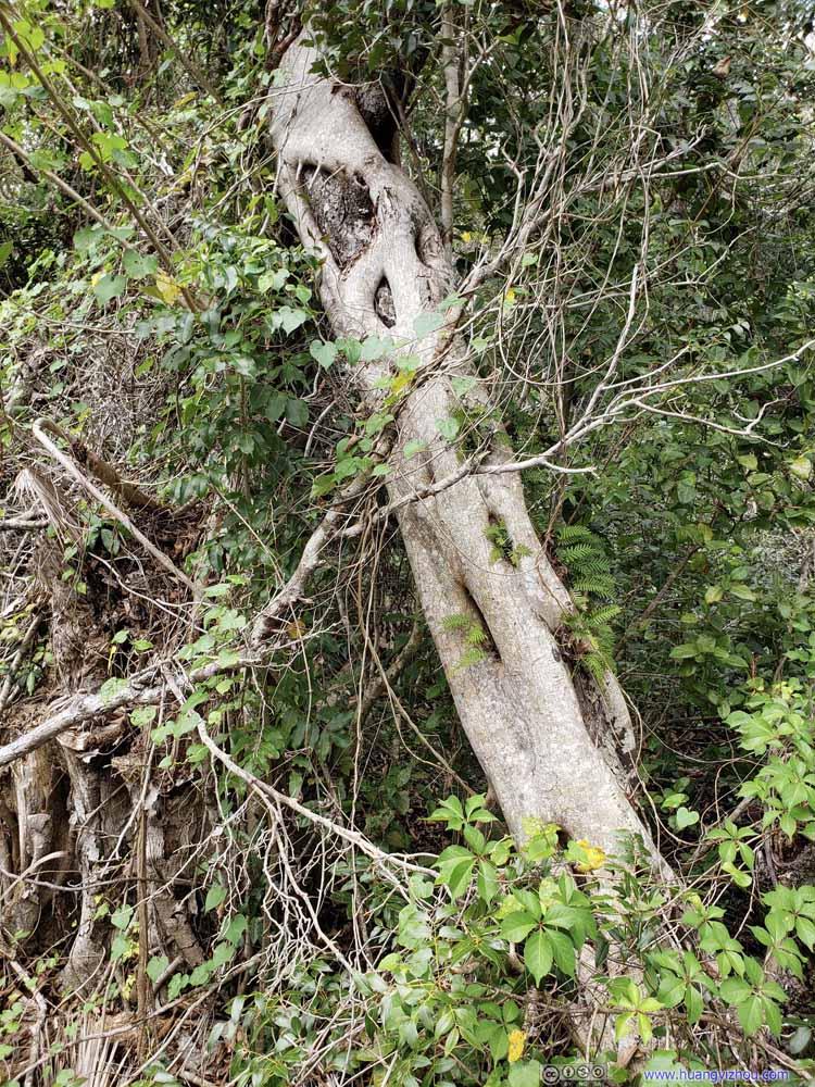 Another Strangler Fig