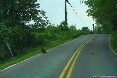 Vulture and Roadkill