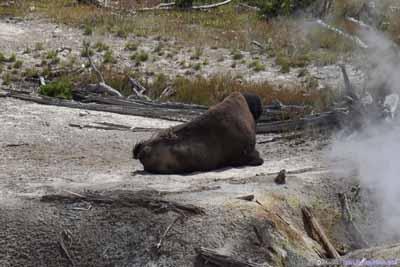 Bison Resting by Mud Geyser