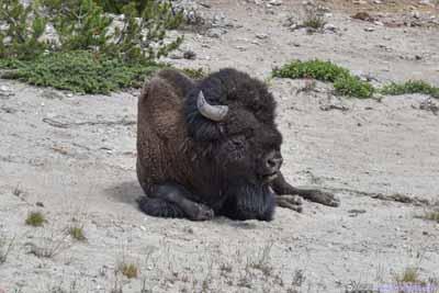 Bison Resting