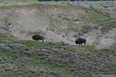 Bison in Field