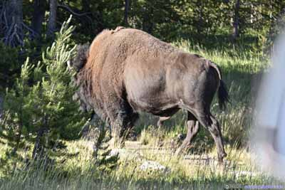 Bison in Woods after Crossing Road