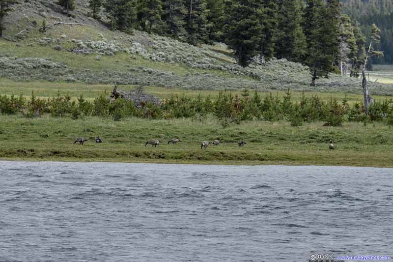 Geese across Yellowstone River