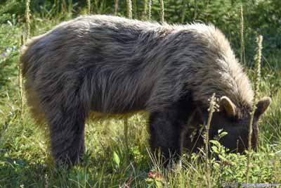 Bear by Trail