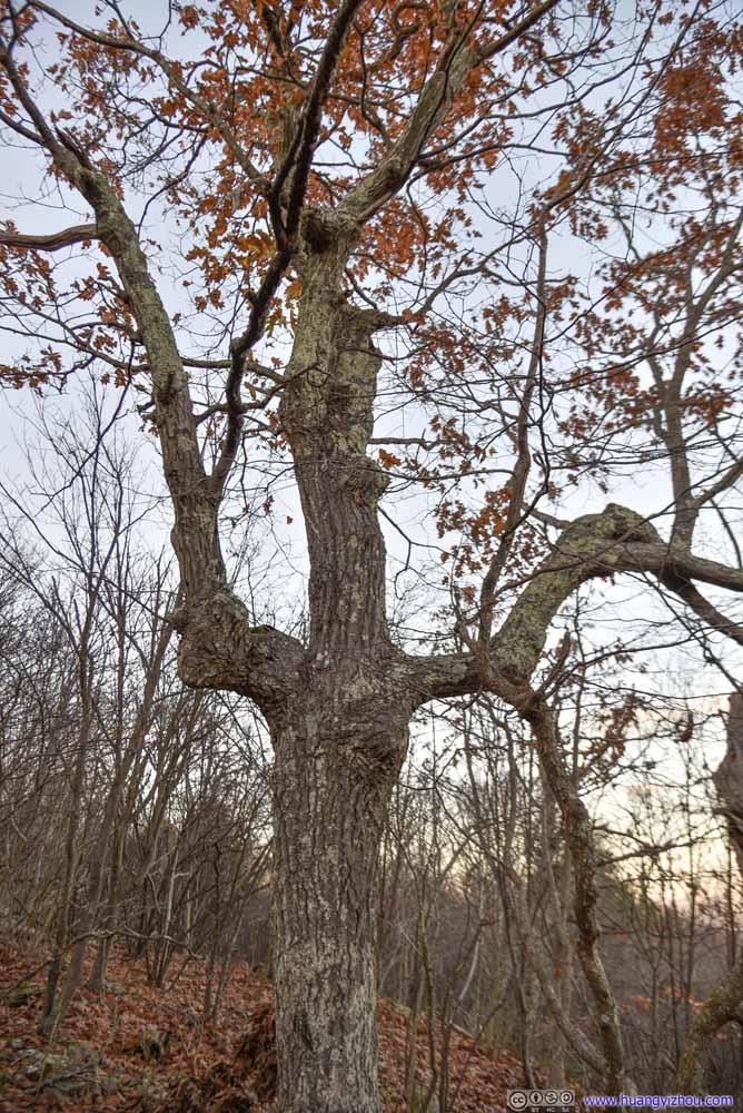 Tree in Trident Shape