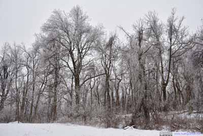 Trees with Rime Ice