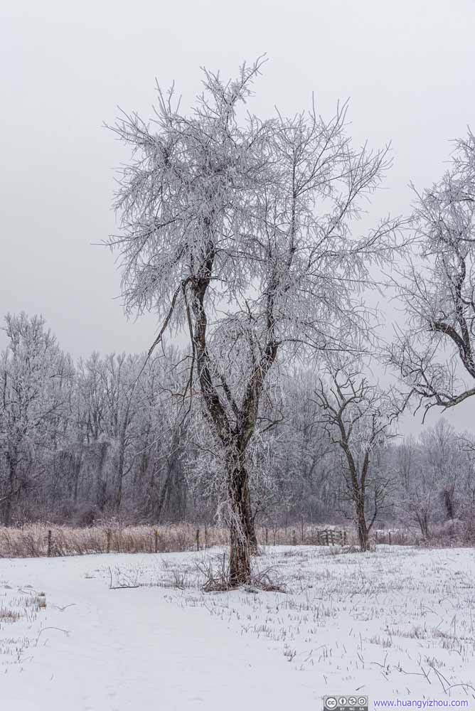 Tree with Rime Ice