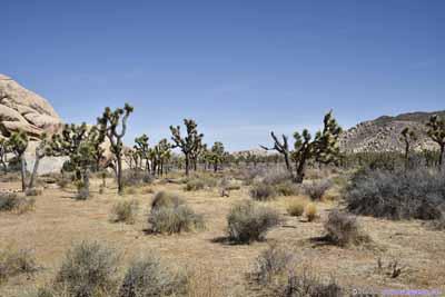Field of Joshua Tree