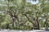 Oak Trees on top of Garden Mound