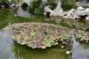Cluster of Lotus