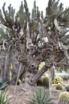 Cactus on Trees