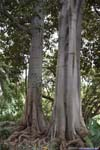 Tree with Giant and Twisted Roots