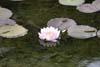 Lone Lotus